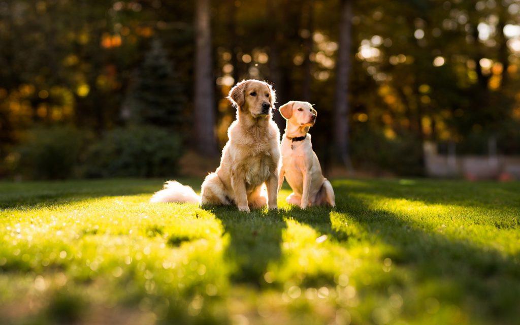 golden-retriever-dogs-resized_optimized
